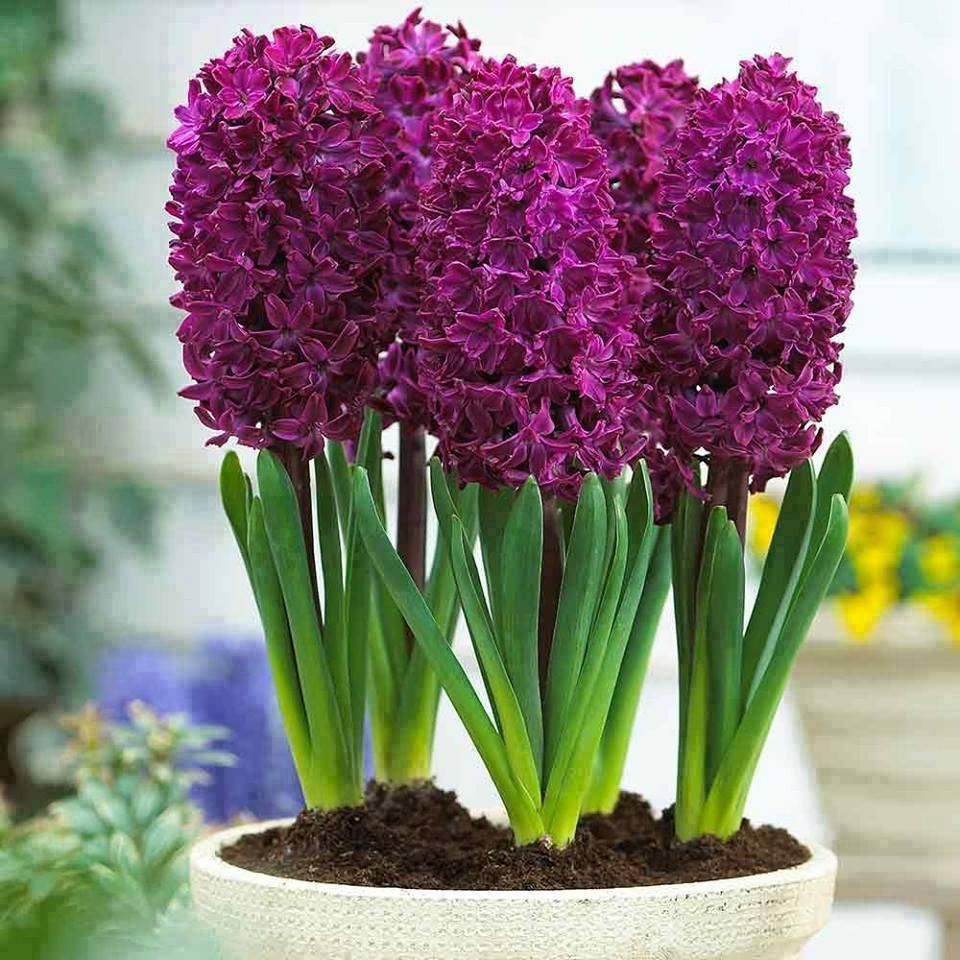 Осенние Луковичные Цветы Купить В Интернет Магазине
